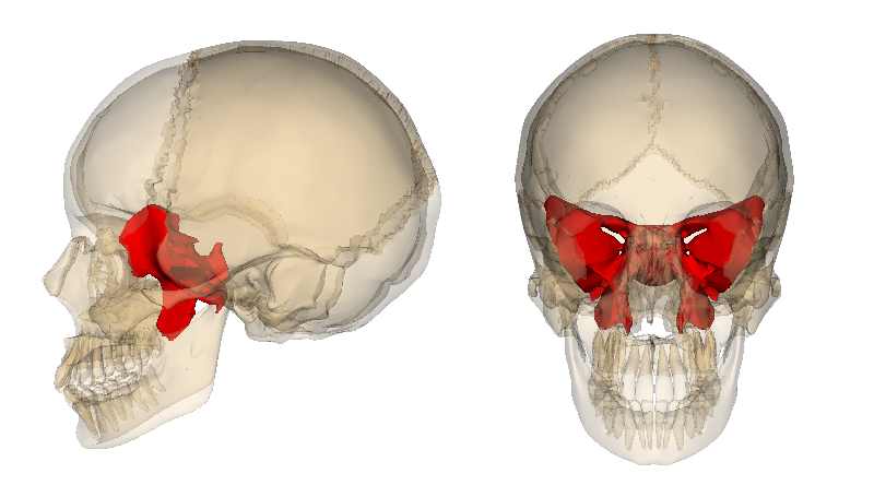 Location of the sphenoid bone